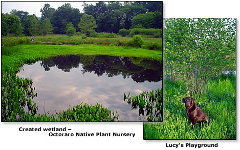 Created wetland at Octoraro - Lucy