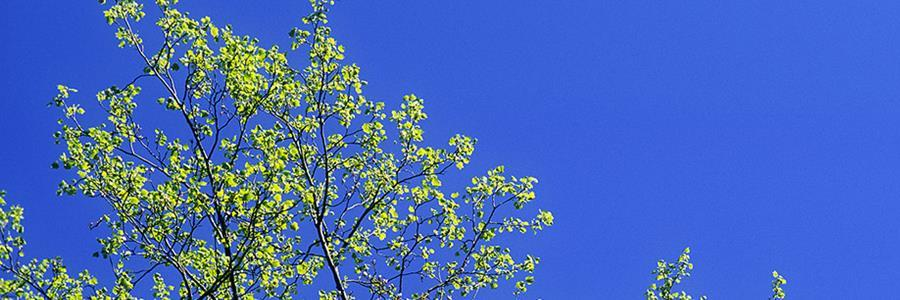 Liriodendron top in spring  900x300