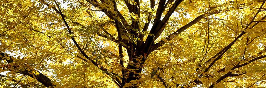 Acer species in fall - Copyright Mark Gormel 900x300