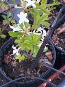 Blog Gallon Pot Azalea