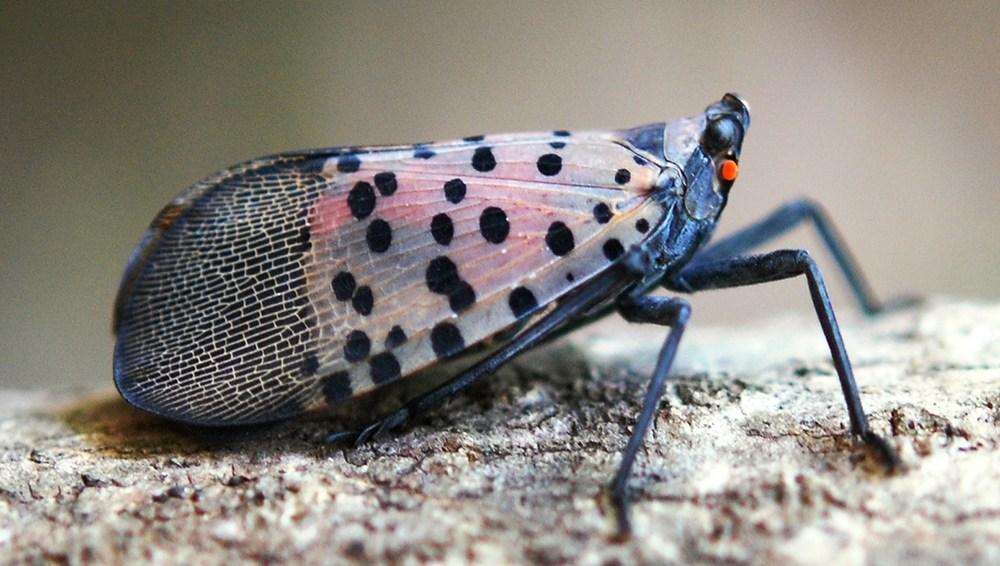 Spotted Lanternfly (SLF)